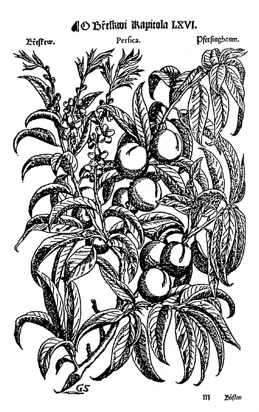 Depiction Of Peach From Mattioli S Book Of Herbs Year 1562