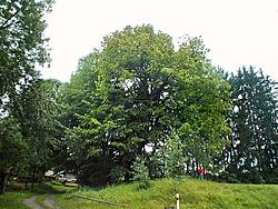 The lime tree in the community of Běleň